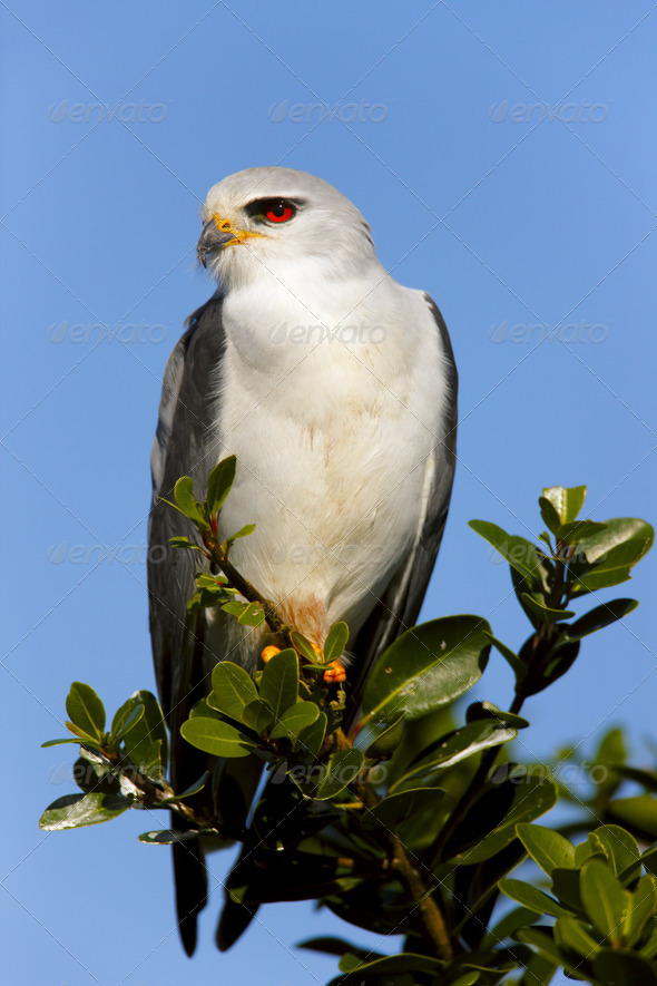 BlackShouldered Kite - Stock Photo - Images