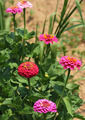 July Zinnias - PhotoDune Item for Sale