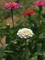 Summer Zinnias - PhotoDune Item for Sale