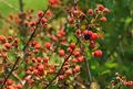 Wild Berries - PhotoDune Item for Sale
