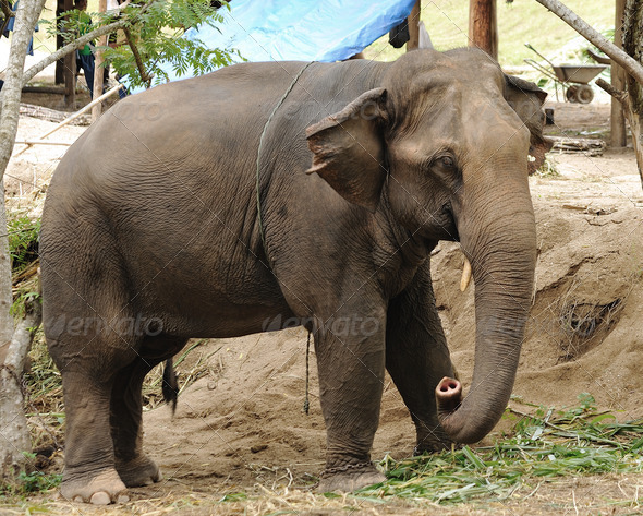 Asian Elephant - Stock Photo - Images