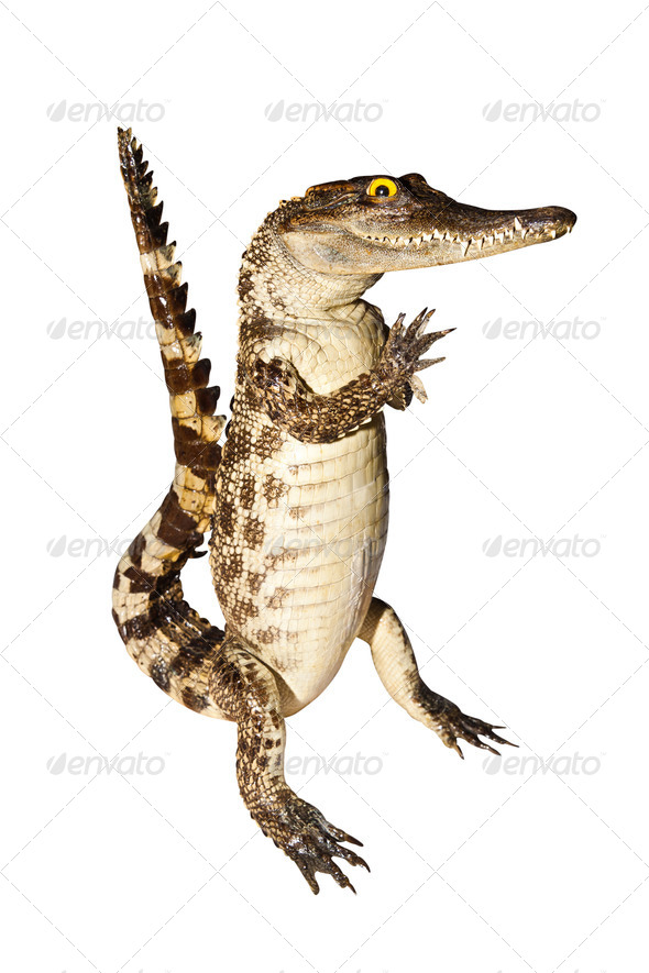 Crocodile stuff isolate on white background with clipping path - Stock Photo - Images