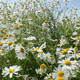 Chamomile Flowers - VideoHive Item for Sale