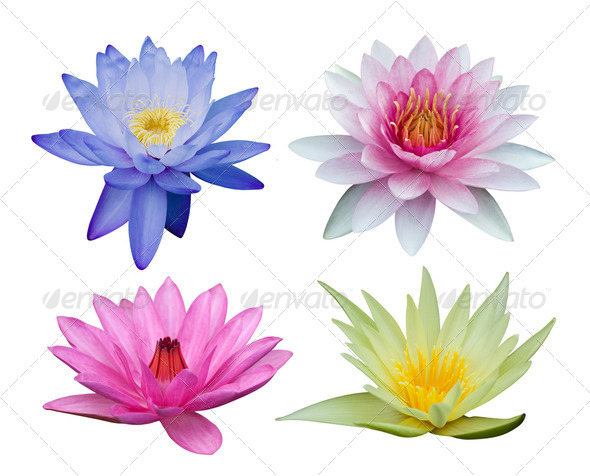 Water lily set isolated on white - Stock Photo - Images
