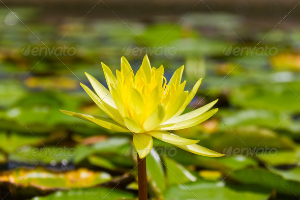 Yellow lotus flower - Stock Photo - Images