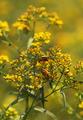 Summer Soldier Beetles - PhotoDune Item for Sale