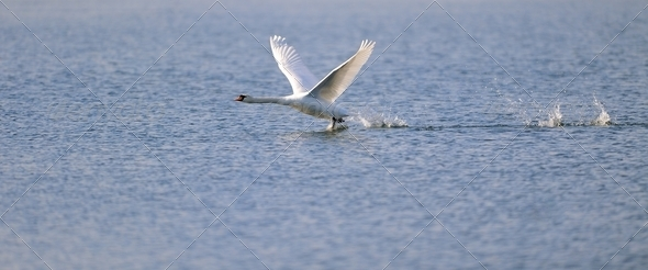 Swan ready for take off - Stock Photo - Images