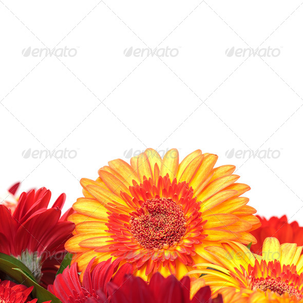Vibrant Colorful Daisy Gerbera Flowers - Stock Photo - Images