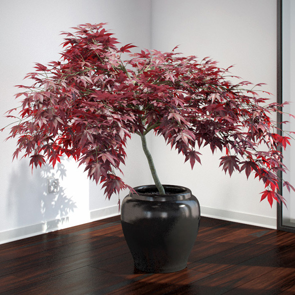 3DOcean Japanese Maple 2611731