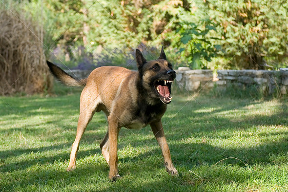 dangerous dog - Stock Photo - Images