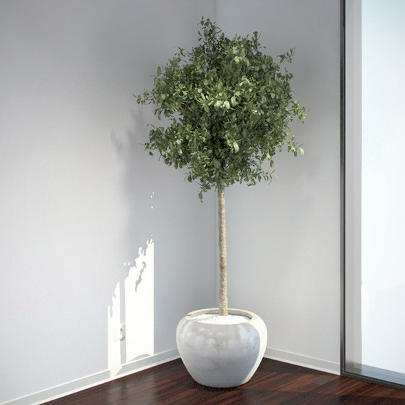 Bay Laurel Tree - 3DOcean Item for Sale