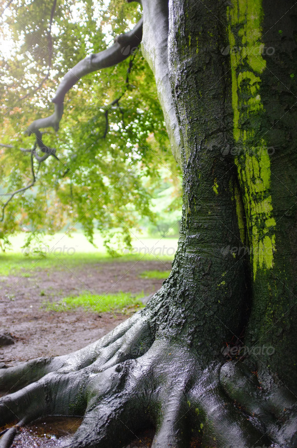Oak tree after rain - Stock Photo - Images