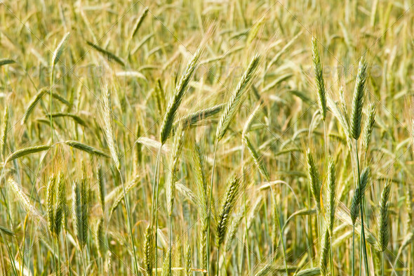 Ripening rye in the field of summertime - Stock Photo - Images