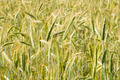 Ripening rye in the field of summertime - PhotoDune Item for Sale