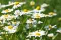 Spring in the group of camomile - PhotoDune Item for Sale