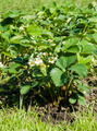 flowering bushes of strawberries - PhotoDune Item for Sale