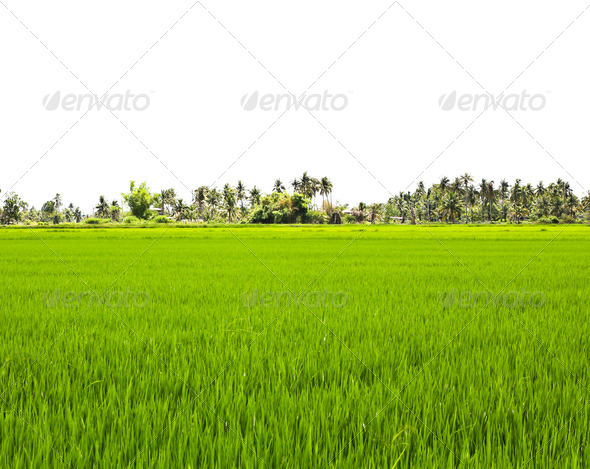 Paddy Rice Fields. - Stock Photo - Images