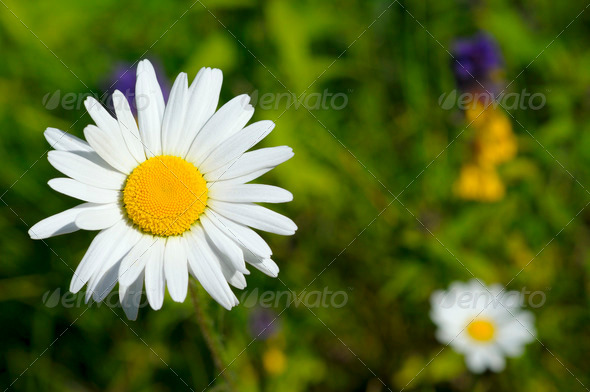 chamomile on green field - Stock Photo - Images