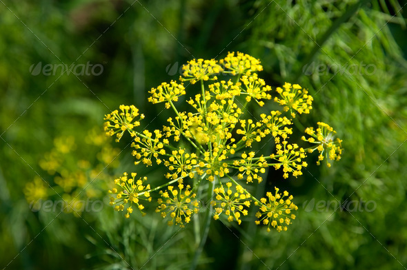 Inflorescence of dill - Stock Photo - Images