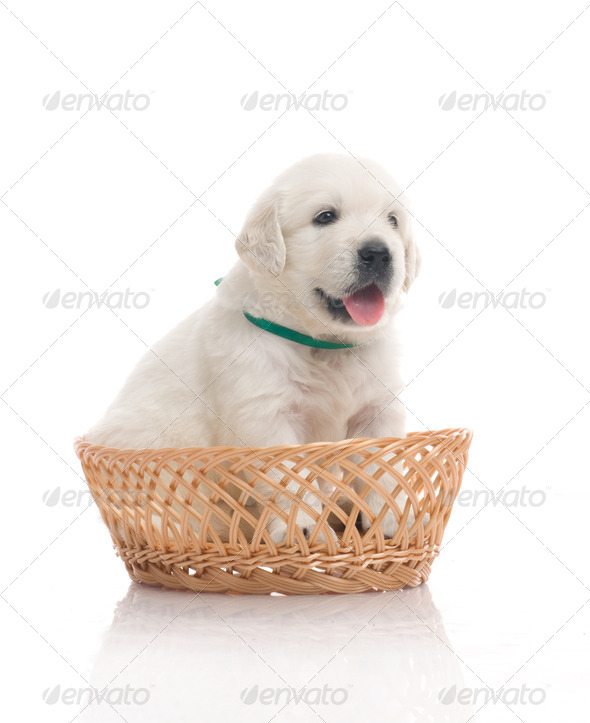 Small Cute Golden Retriever Puppy, One In Basket, Isolated On White Background - Stock Photo - Images