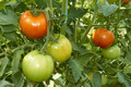 Red and green tomatoes in greenhouse - PhotoDune Item for Sale