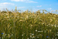 Ripening rye in the field - PhotoDune Item for Sale
