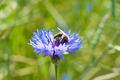 Honey bee and cornflower close-up - PhotoDune Item for Sale
