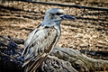 Kookaburra bird in Australia - PhotoDune Item for Sale