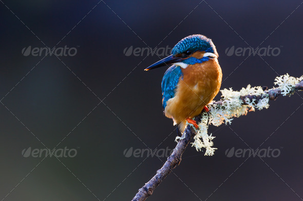 Common Kingfisher Alcedo atthis adult male - Stock Photo - Images