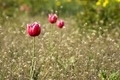 Bright red tulips with white borders - PhotoDune Item for Sale