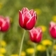 Bright red tulip - PhotoDune Item for Sale