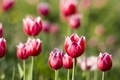 Bright red with white tulips - PhotoDune Item for Sale