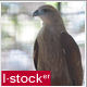 Hawk In Zoo - VideoHive Item for Sale