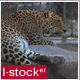 Leopard In Zoo 2 - VideoHive Item for Sale