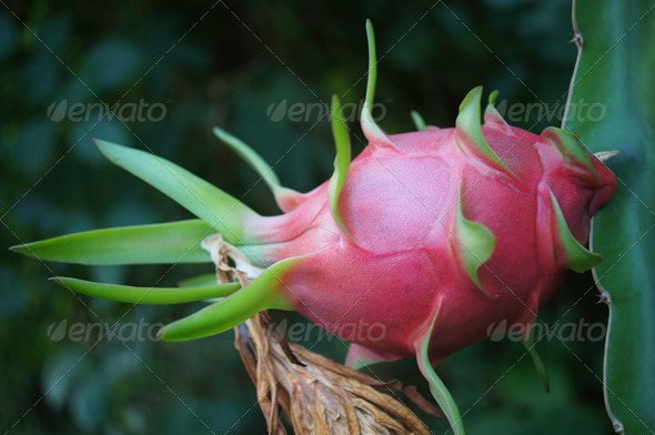 Dragon fruit - Stock Photo - Images