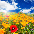 Field of red and yellow poppies - PhotoDune Item for Sale