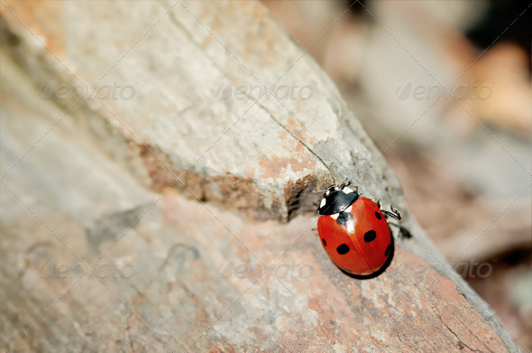 Ladybird - Stock Photo - Images