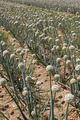 onion field - PhotoDune Item for Sale