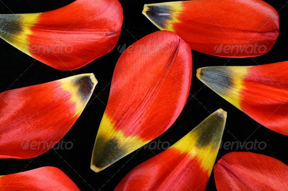 Tulip Petals - Stock Photo - Images