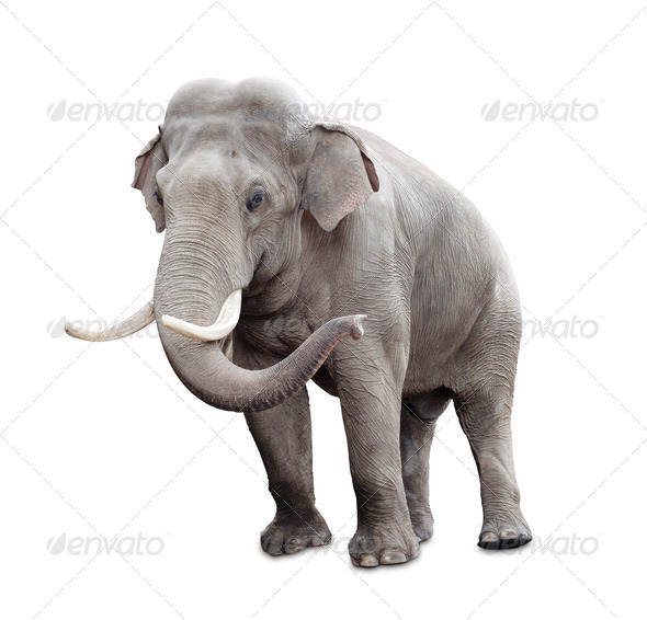 Elephant isolated on white with clipping path included - Stock Photo - Images