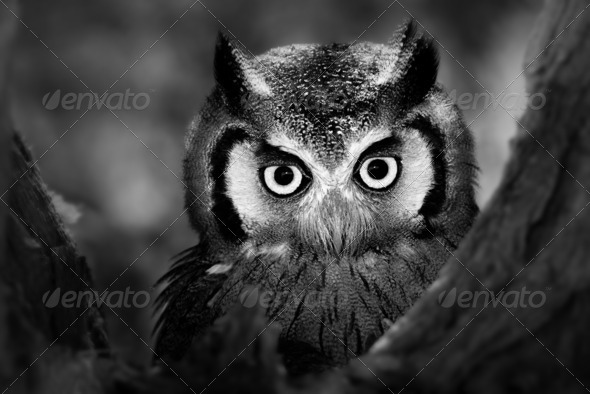 Whitefaced Owl - Stock Photo - Images