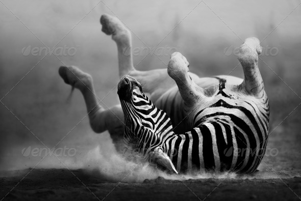 Zebra rolling in the dust - Stock Photo - Images