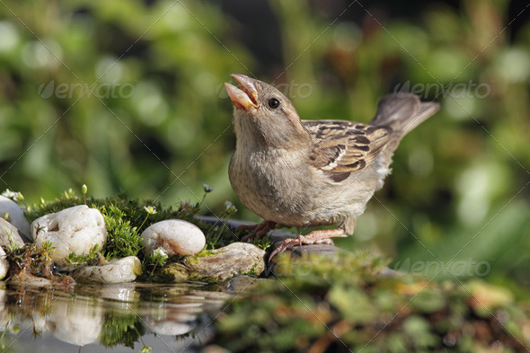 House Sparrow (Passer domesticus) - Stock Photo - Images
