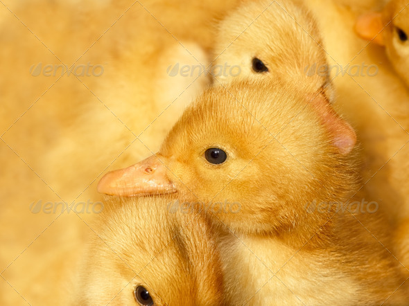 Small ducklings on yellow - Stock Photo - Images