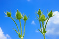 Small teasel flowers - PhotoDune Item for Sale