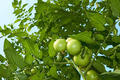 Green tomatoes from below - PhotoDune Item for Sale