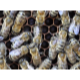 Close-Up Of A Beehive Entry With Lots Of Busy Bees 3 - VideoHive Item for Sale