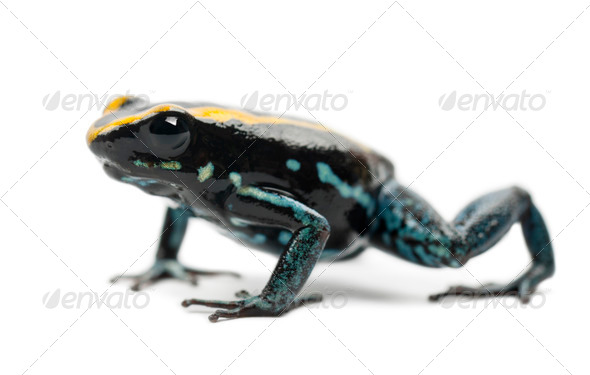 Golfodulcean Poison Frog, Phyllobates vittatus, portrait against white background - Stock Photo - Images