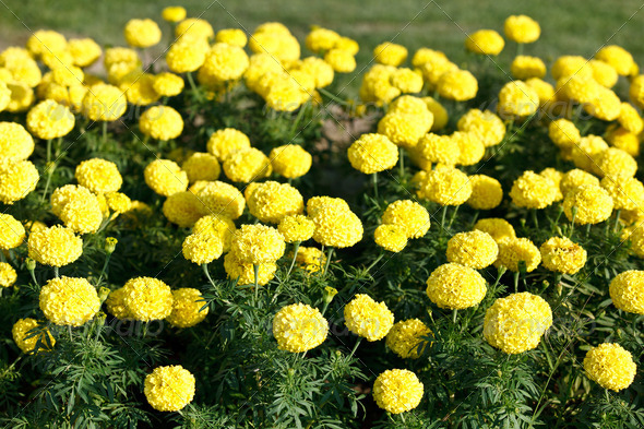 Yellow marigolds growing - Stock Photo - Images
