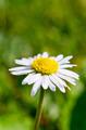 White Daisy Close-Up - PhotoDune Item for Sale